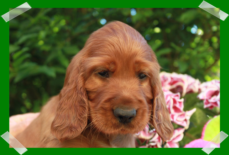Irish Setter Kennel of the Red Flash