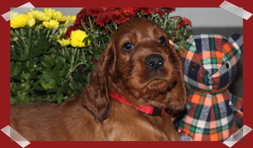 irish setter welpe of the red flash