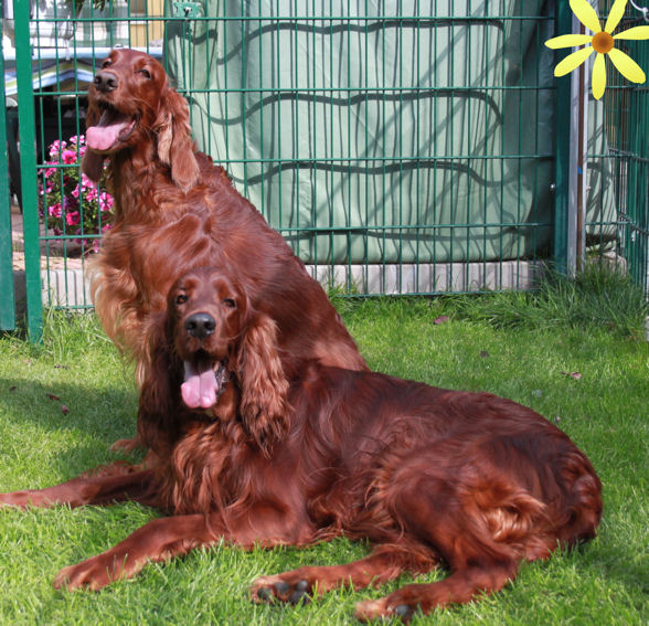 irish setter welpen of the red flash